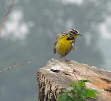 The Meadowlark by jackiepopp