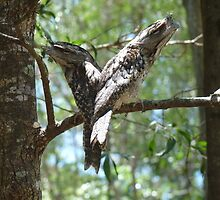 Frogmouths by Two by Virginia McGowan
