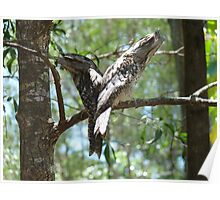 Frogmouths by Two Poster