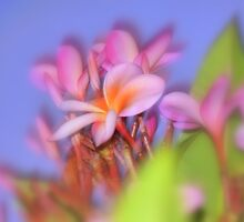 Fabulous Frangipani  by Virginia McGowan