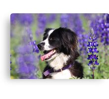 dog in a field of Blue lupin (Lupinus pilosus) flowers  Canvas Print