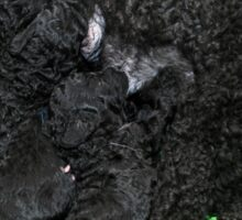 Mature female poodle feeds Six 12 day old poodle puppies Sticker
