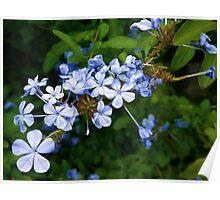 Abundant in blue Plumbago Poster