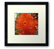 Blaze of Orange Gum Flowers Framed Print