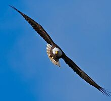 Bald Eagle by Michael Mill