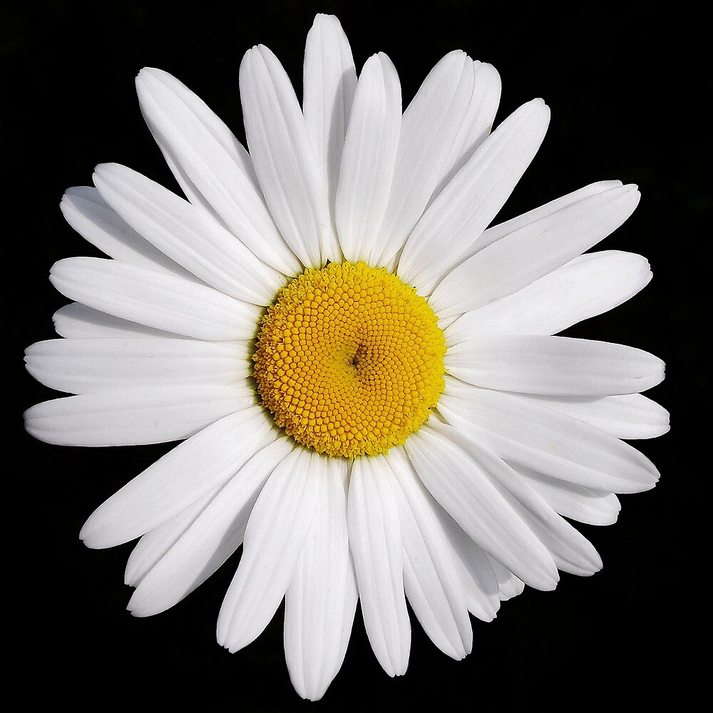 Perfectly Daisy by Kathilee