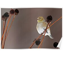 Goldfinch on Black Eyed Susan Seedheads Poster