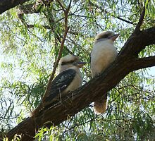 Kookaburra sits in the old gum tree by peterthompson