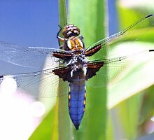 Broad Bodied Chaser Dragonfly by missmoneypenny