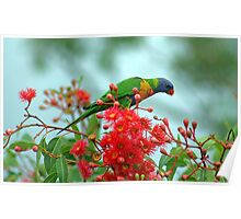 Rainbow Lorikeet with Flowering Gum Poster