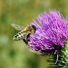Bee and Thistle - near Wattle Hill, Great Ocean Road by Henry Inglis