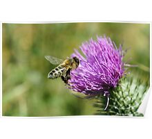 Bee and Thistle - near Wattle Hill, Great Ocean Road Poster