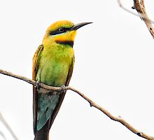 Rainbow Bee-eater by nadine henley