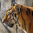 Amur Tigress by woodnimages