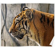 Amur Tigress Poster