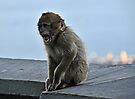 Young Barbary Macaque, Gibraltar by David Carton