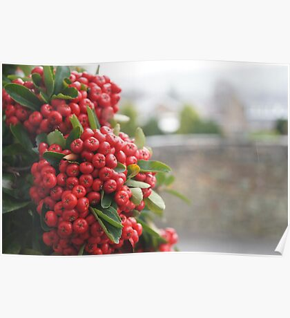 A soft focus of red berries against rural buildings & country Poster