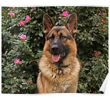 Chance--German Shepherd Poster