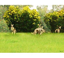 Kangaroos in the green Photographic Print