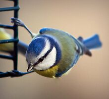 Blue Tit collecting food by Lauren Tucker