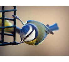 Blue Tit collecting food Photographic Print