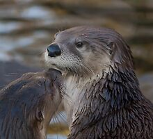 A pair of Otters by Lauren Tucker