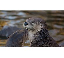 A pair of Otters Photographic Print