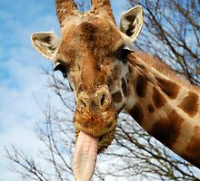Giraffe sticking its tongue out by aaronnaps