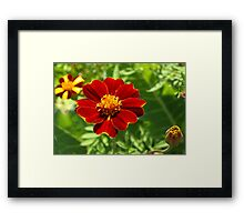 Red marigold Framed Print