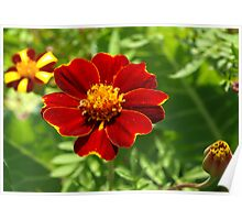 Red marigold Poster