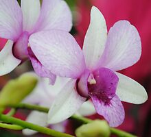 White and Pink Orchids by Shaun  Gabrielli