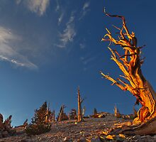 Bristlecone First Light by Nolan Nitschke