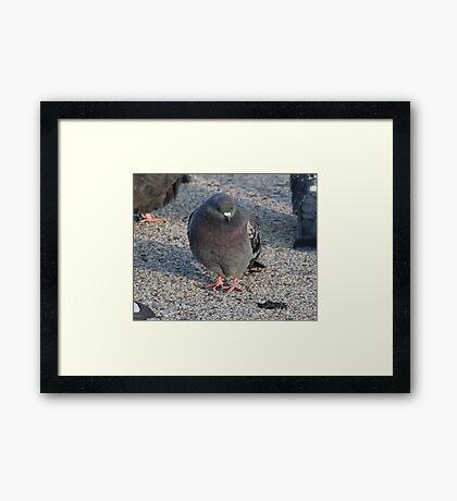 'I have a Royal Purple Bib'  3690 Framed Print