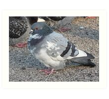 White and Black Pigeon with Grey Area 3696 Art Print