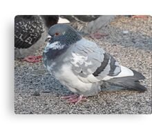 White and Black Pigeon with Grey Area 3696 Metal Print