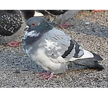 White and Black Pigeon with Grey Area 3696 Photographic Print