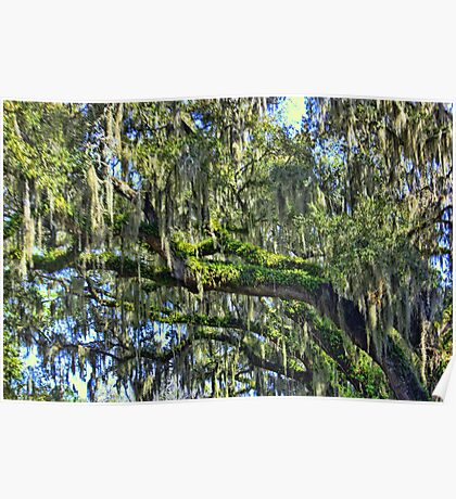 Live Oak Trees With Spanish Moss Poster