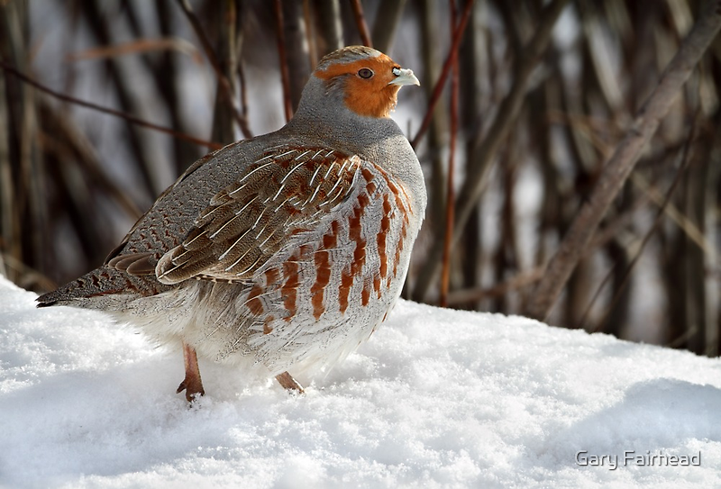 Not A Pear Tree In Sight / Gray Partridge by Gary Fairhead