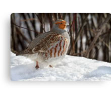 Not A Pear Tree In Sight / Gray Partridge Canvas Print
