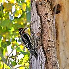 Yellow-bellied Sapsucker by levipie
