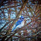 Blue Jay Makes a Winter Day Visit by Jack McCabe