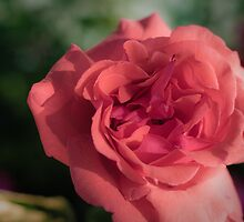 Rose #41 by BH Neely