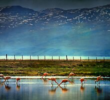 Flamingos by Peter Hammer