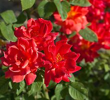 Red Rose Trio #79 by BH Neely