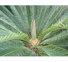 Cycad with new leaves Photographic Print