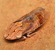 Male black flat-head leafhopper - Stenocotis depressa by Andrew Trevor-Jones