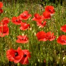 Poppy Field by ardudley