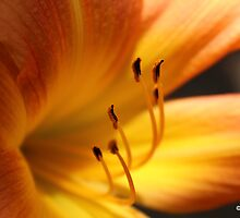 Lily Lilium by Travis Szylak