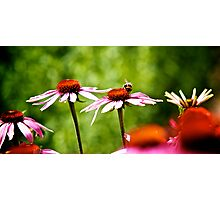 Floral | Daisy Photographic Print