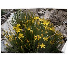 Hypericum olympicum, Mt Falakro northern Greece Poster